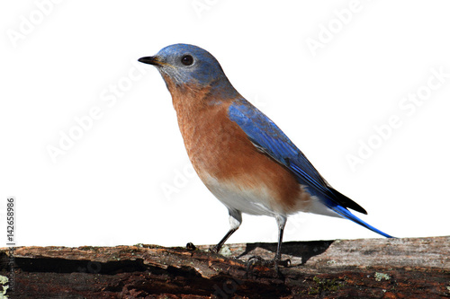 Sticker - Isolated Bluebird On A Perch With A White Background