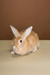 A cute bunny rabbit posing in a studio against a cream and brown wall