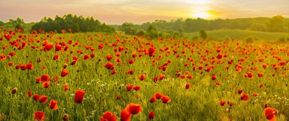 Fototapeta Maki Red poppy field in the light of the rising sun