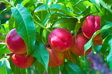 Nectarines On Tree