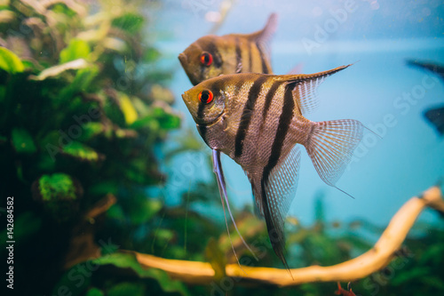 Photo Angelfish Pterophyllum scalare