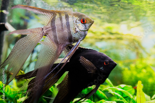 Angelfish Pterophyllum scalare in aquarium Canvas Print