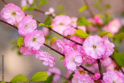 Fototapeta Blooming Japanese plum (Prunus mume) obraz na płótnie