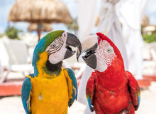 Tropical Bird Close-up - Two Macaws.