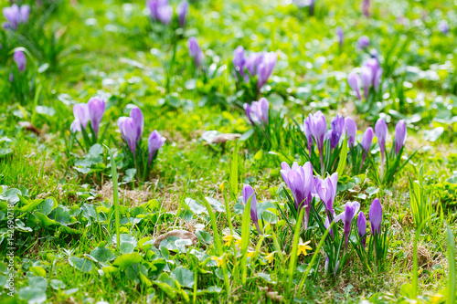 Foto op Canvas Bloemen Group of Purple crocus (crocus sativus) with selective/soft focus and diffused background in spring,