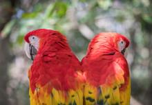 Tropical Bird Close-up - Scarlet Macaw (Ara Macao). Cancun, Mexico.