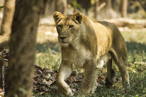 Stampa su Tela  With a similar environment to Africa, Thailand easily become a new home for this lion family with only little change in their habitats