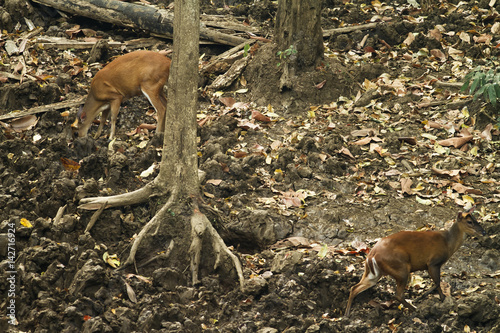 Fotografia  This picture shows am image of  Muntjac deer, feeding on a salt lick