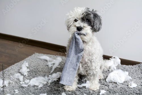 Foto Naughty poodle dog with sock in the mouth  made a mess at home