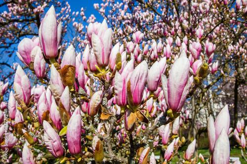 Plakat Tulpen-Magnolie (Magnolia × soulangeana)