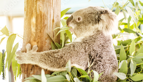 Garden Poster Koala Koala (Phascolarctos cinereus) eating eucalyptus leaves.