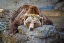Big Old Bear Taking A Nap