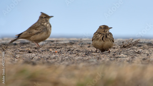 Two Crested Larks standing on flat surface in winter time Canvas-taulu