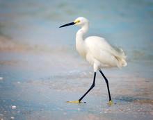 Snowy Egret Walking On Beach