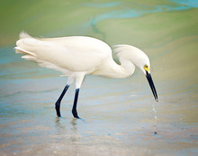Snowy Egret Catching Fish At Shoreline