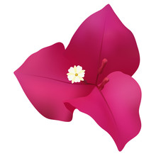 Bougainvillea Flower Isolated ...