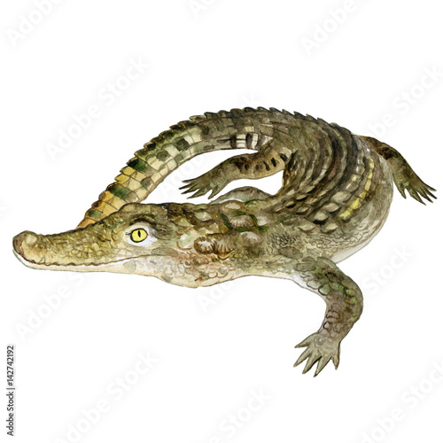 Fototapeta premium Watercolor closeup portrait of Nile crocodile animal isolated on white background. Hand drawn dangerous cold-blooded predator. Book, card, encyclopedia design. Clip art illustration for web and print