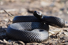Black Snake At The Forest At The Leaves Curled Up In The Ball Ready To Atack