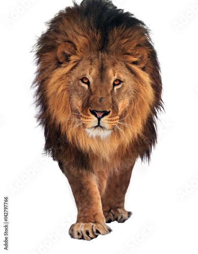 Staande foto Leeuw Lion walking and looking at camera isolated at white