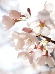 FototapetaCherry blossom