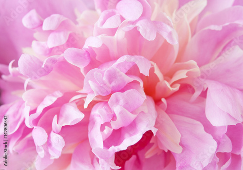 In de dag Bloemen Peony flowers macro background