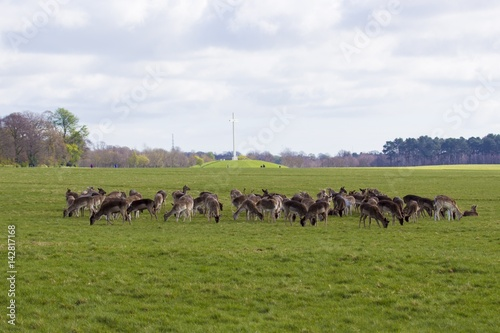 Photo  Deer in Phoenix Park - Dublin