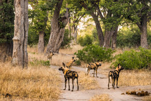 Pack Of African Wild Dogs Standing On Road At Moremi Game Reserve. Okavango Delta, Botswana, Africa.