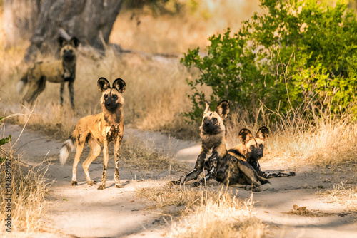Photo  Pack of African wild dogs standing on road at Moremi Game Reserve