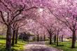 Kirschblüten Allee im frühen Sonnenlicht