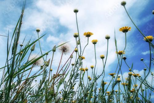 dzikie-zolte-kwiaty-i-mlecze-oraz-niebo-i-chmury-ogladane-z-gory