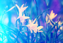 Vintage Wild Lily Flowers. Blue Colored Wit Light Effect