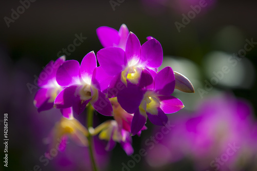Photo  Pink Singapore Orchids