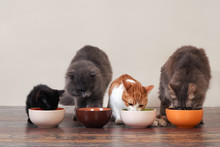Domestic Cats Eat Pet Food On ...