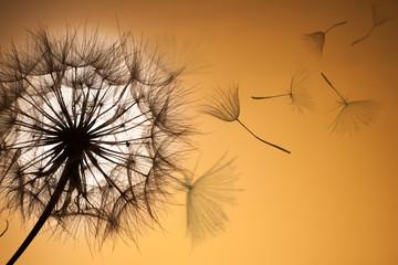 Obraz na Szkle Dmuchawce Dandelion silhouette fluffy flower sunset sky