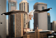 Seagull Diving For Food In Syd...