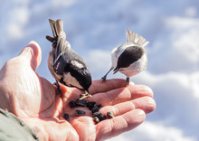 Hand Feeding A Black-capped Chickadee Sunflower Seeds