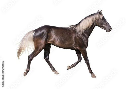 Foto  silver black horse breed rocky mountain on white background isolated