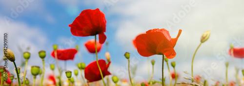 Foto op Canvas Klaprozen Poppies field in rays sun.