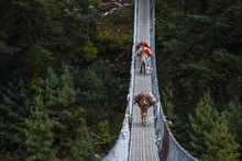 Donkeys Carry Provision Over Suspension Bridge To High Villages In Himalayas, Nepal