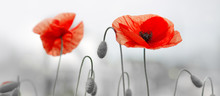 Two Red Poppies In Bright Even...
