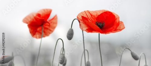 Montage in der Fensternische Mohn Two red poppies in bright evening light.