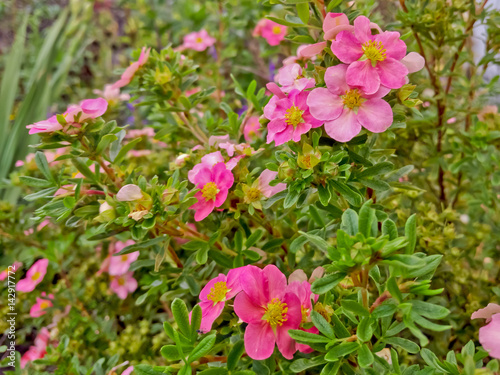 Foto  Flowers of pink cinquefoil
