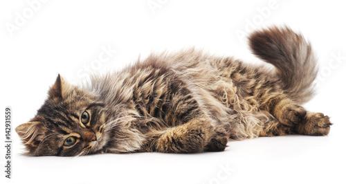 Fototapeta The brown cat. obraz
