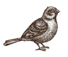 Hand Drawn Sparrow. Bird, Birdie, Animal Sketch. Vintage Vector Illustration