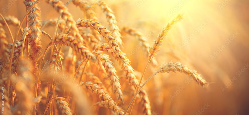 Fototapety, obrazy: Wheat field. Ears of golden wheat closeup. Harvest concept