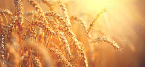 Wheat field. Ears of golden wheat closeup. Harvest concept