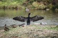 Beautiful Image Of Cormorant P...