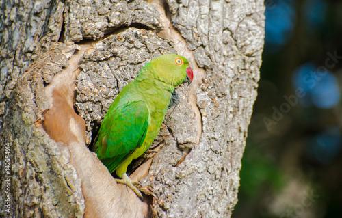 The rose ringed parakeet or ring necked parakeet at Bundala national park in Sri Lanka Wallpaper Mural