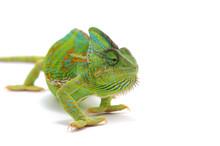 Chameleon Isolated On White Ba...
