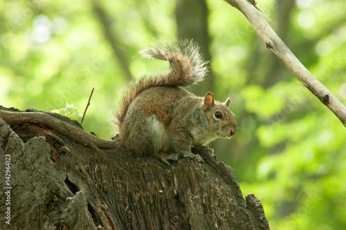 Foto op Canvas Eekhoorn Squirrel in the park with tree